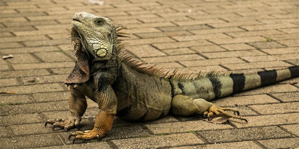 A very large iguana walking across a brick path