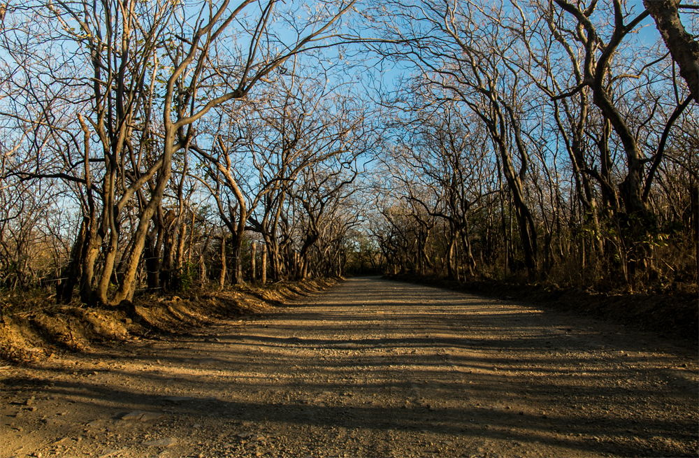 Dry trees overhang a gravel road