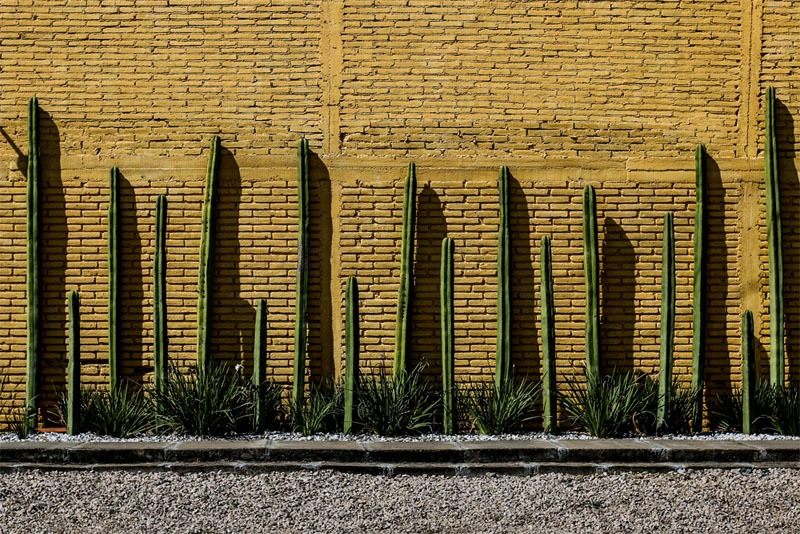 A yellow brick wall with green cacti in front