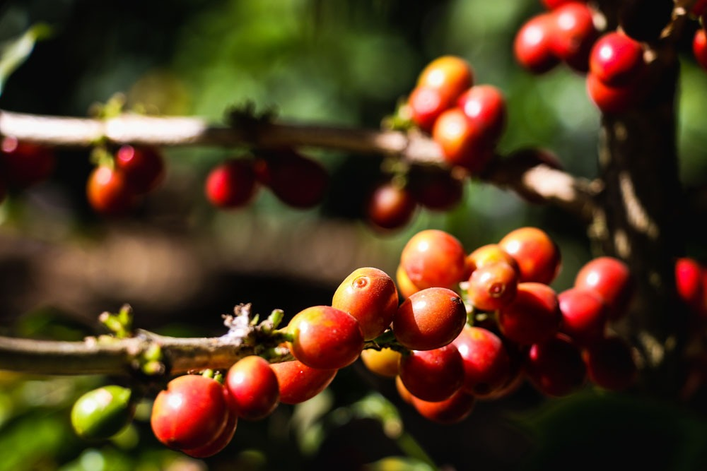 Red coffee berries on a branch