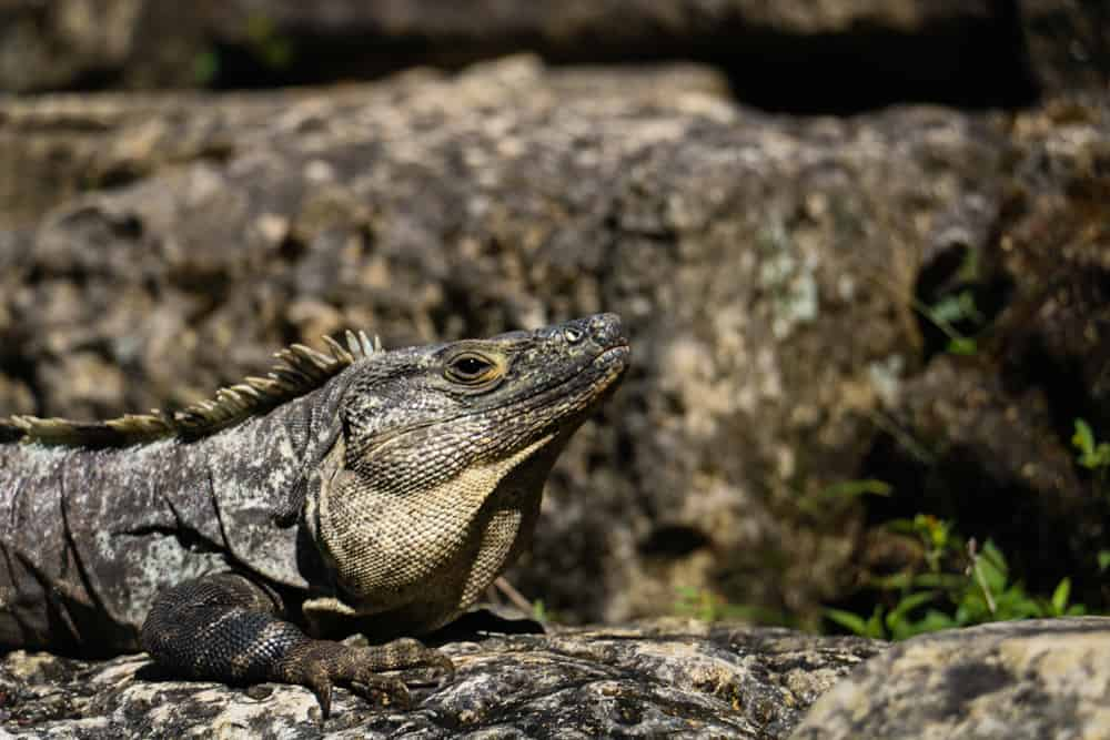 A large lizard sits on the stairs of a temple in Palenque
