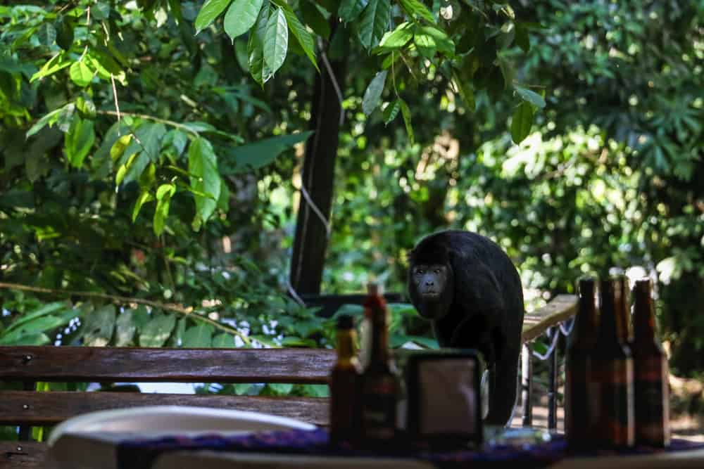 A howler monkey sitting on a handrail near some beer bottles in Palenque
