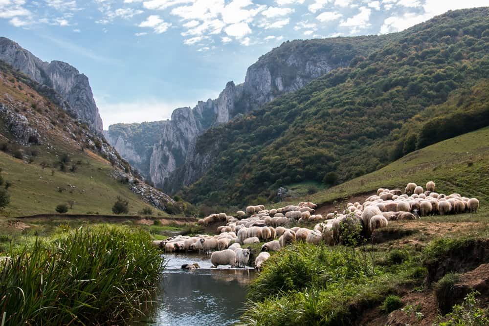 Sheep drinking from a stream flowing from a large stone canyon.