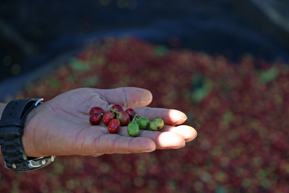 Hand full of ripe, green and red coffee berries from a coffee tour at lake Atitlan Guatemala