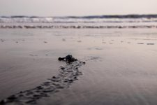 Baby turtle crawling through the wet sand