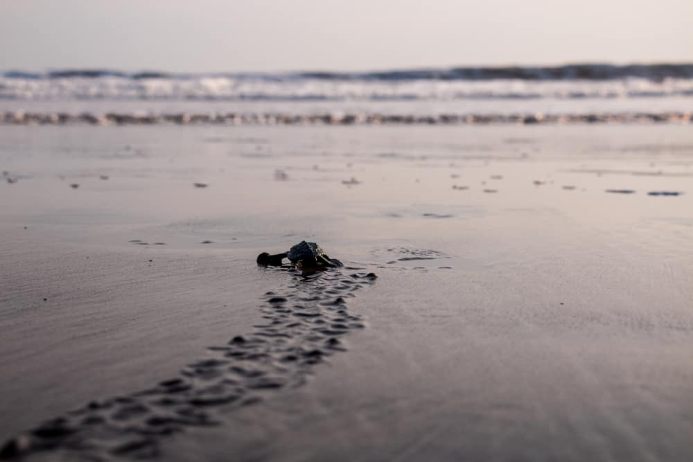 Baby Sea Turtles in El Salvador