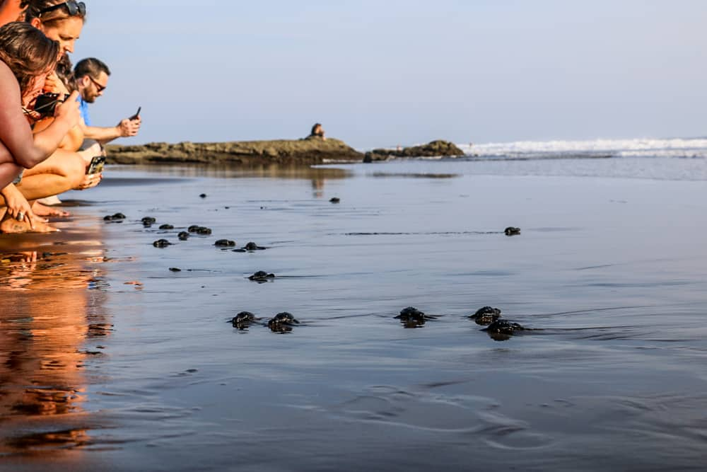 Several people watch and take photos of baby sea turtles in El Salvador