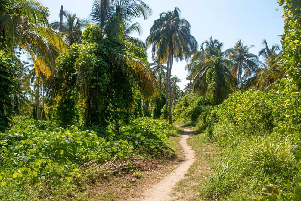 Path through the jungle with palm trees