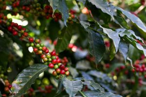 Red and green coffee berries on a bush