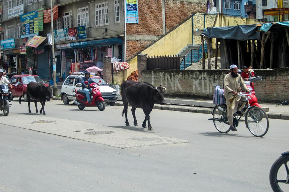 Cow walking down a street