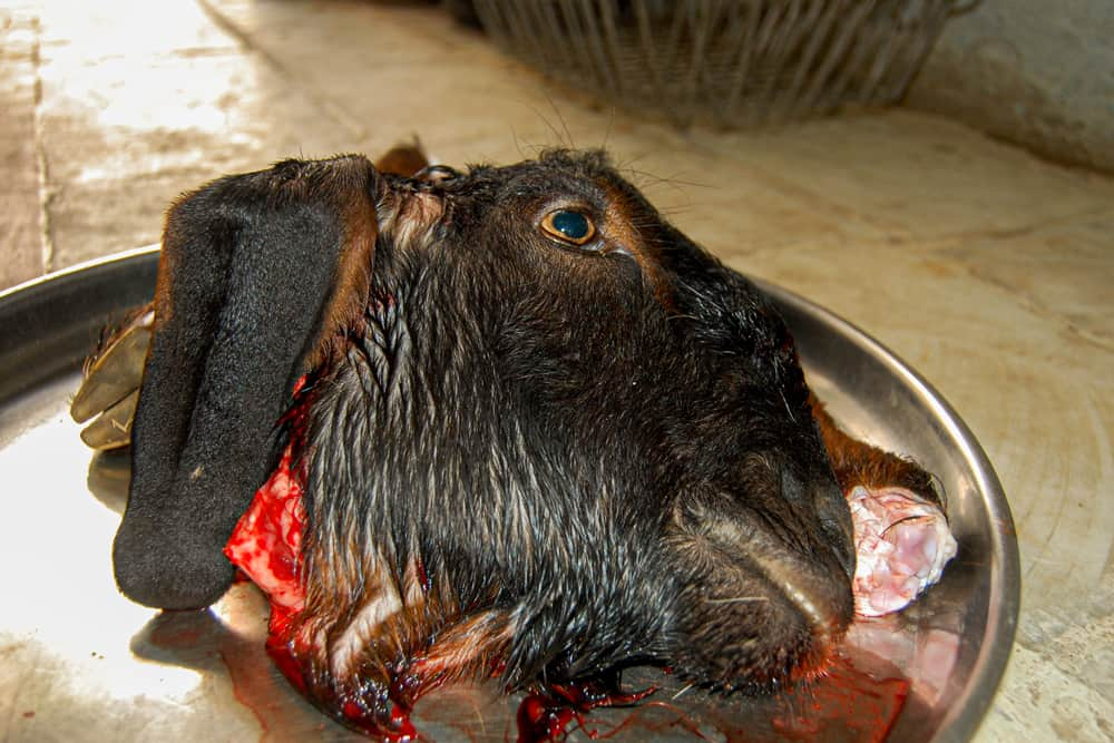 Severed goat head