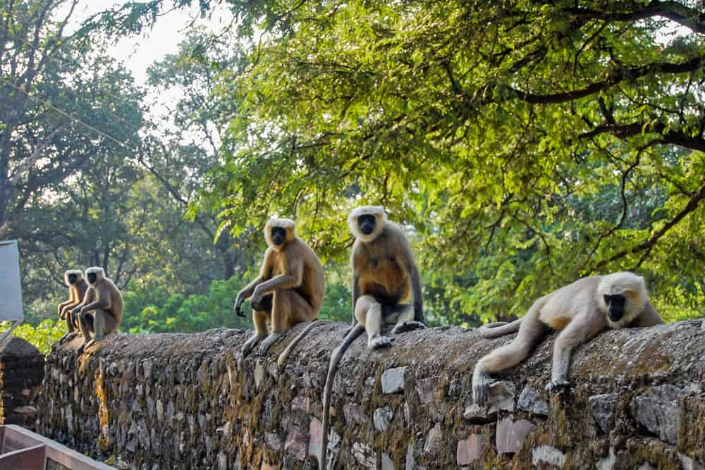 Grey monkeys sit on a stone wall