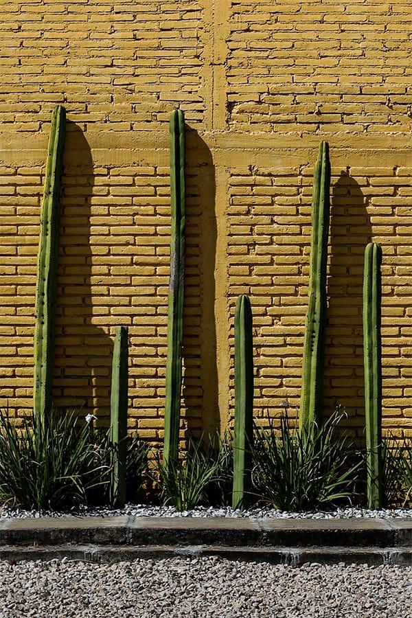 Cacti against a yellow brick wall